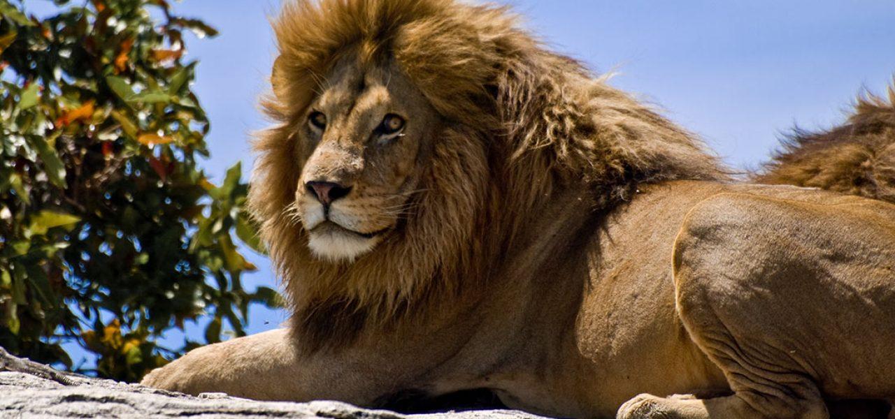 lionking_favreau