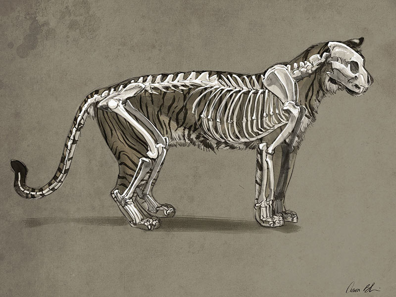 Tiger skeleton study by Aaron Blaise.
