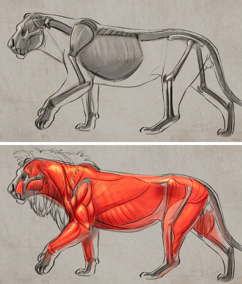 Lion body studies by Aaron Blaise.