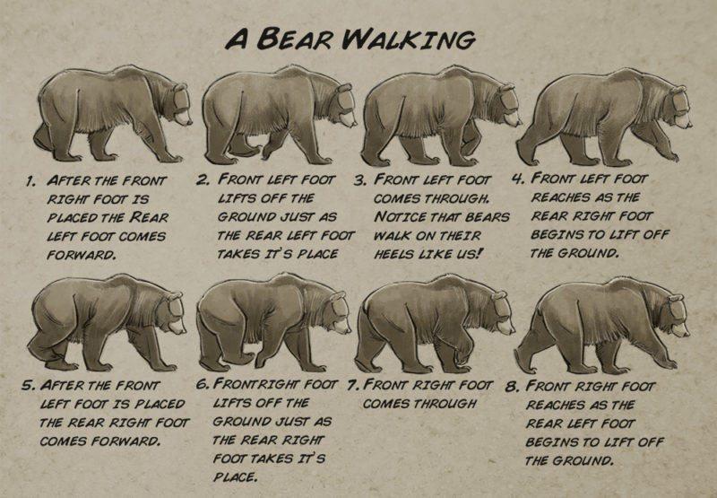 Bear locomotion study.